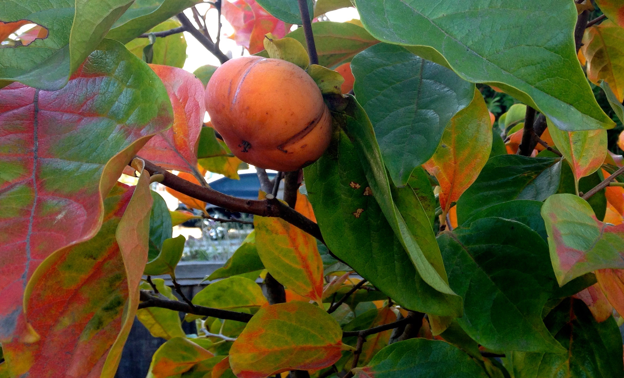 tree with ripe persimmon